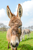 Brown donkey looking at you Royalty Free Stock Photos
