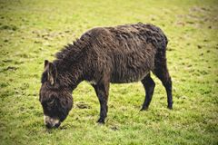 Brown donkey in meadow eating Royalty Free Stock Images