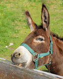 Brown donkey, nibbling on the fence Royalty Free Stock Photography