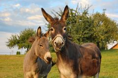 Brown donkey at paddock. On summer evening in south germany bavaria allgau countryside Stock Photos