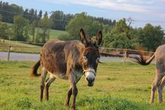 brown donkey at paddock stock images