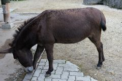 Brown donkey in park side view in animal farm Stock Images