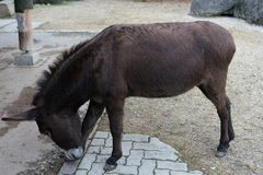 Brown donkey in park side view in animal farm Stock Photography