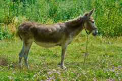 Brown Donkey on Pasture Royalty Free Stock Images