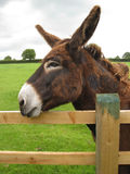 A brown donkey resting on a fence. A brown donkey resting his head on a fence Royalty Free Stock Photography