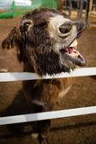 Brown donkey saying hello baby royalty free stock photography