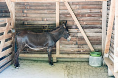 Brown donkey standing inside his stable Stock Images