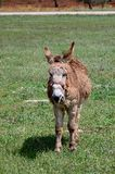 Brown donkey - vertical Stock Photo