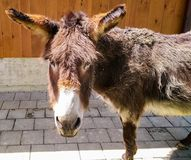 Brown donkey in zoo royalty free stock photo