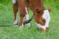 Brown dostrzegał byka wśród świeżej zielonej trawy Obraz Royalty Free