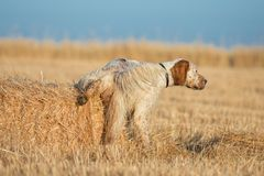 Brown Dotted Setter peeing Royalty Free Stock Photography