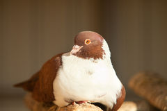 Brown dove Royalty Free Stock Images