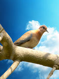 Brown Dove. Dove sitting on the tree branch Stock Photography