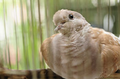 Brown dove in the cage Stock Image