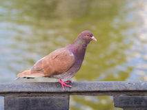 Brown dove closeup Royalty Free Stock Photography