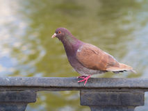 Brown dove near the water Royalty Free Stock Photo