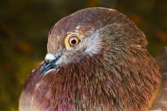 Brown dove Stock Photo
