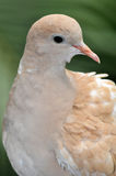 Brown dove Royalty Free Stock Image