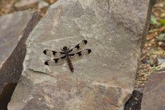 Brown Dragon Fly e rochas Fotografia de Stock
