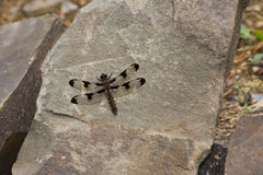 Brown Dragon Fly and Rocks Stock Photography