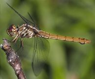 Brown Dragonfly. Side view of a brown dragonfly Royalty Free Stock Photo