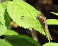 Brown dragonfly Obraz Stock