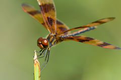 Brown dragonfly Stock Photo
