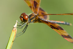 Brown dragonfly. Macro side view of brown dragonfly on green plant Royalty Free Stock Photo
