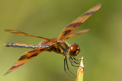Beautiful brown dragonfly stock photos