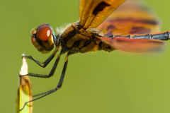 Dragonfly on plant Royalty Free Stock Photo