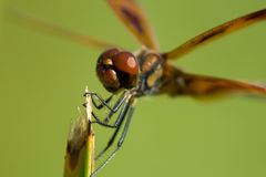 Brown dragonfly Stock Photography