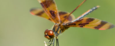 Brown dragonfly Royalty Free Stock Images