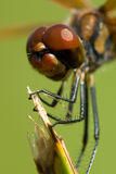 Dragonfly close up stock images