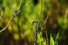 Brown dragonfly Obrazy Royalty Free