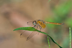 A brown dragonfly on a blade of grass Royalty Free Stock Images
