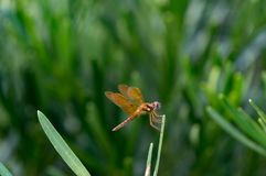 Brown dragonfly with blue eyes Stock Photo