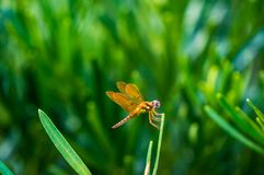 Brown dragonfly with blue eyes Royalty Free Stock Images