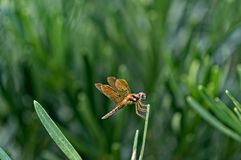 Brown dragonfly with blue eyes Royalty Free Stock Photos