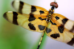 Brown dragonfly close up Stock Photos