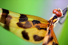 Brown dragonfly close up stock images