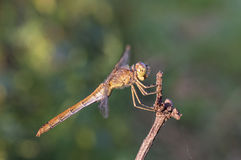 Brown dragonfly - female Keeled skimmer. Royalty Free Stock Photos