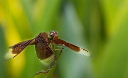 Brown Dragonfly. In the field Royalty Free Stock Photos
