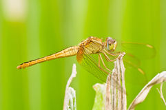 Brown Dragonfly on Green Background Royalty Free Stock Images