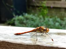 A brown dragonfly on the handrail of a garden chair. Enjoying the warmth of the sun stock photo