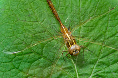 Brown dragonfly on leaf Royalty Free Stock Photos