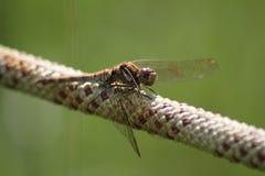 Brown Dragonfly na białej i czerwonej arkanie obraz royalty free