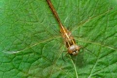 Brown dragonfly na liściu Zdjęcia Royalty Free