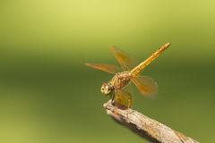 Brown dragonfly on natural green background Stock Photography