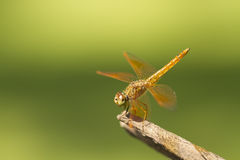 Brown dragonfly on natural green background Stock Photos