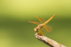 Brown dragonfly on natural green background Stock Image